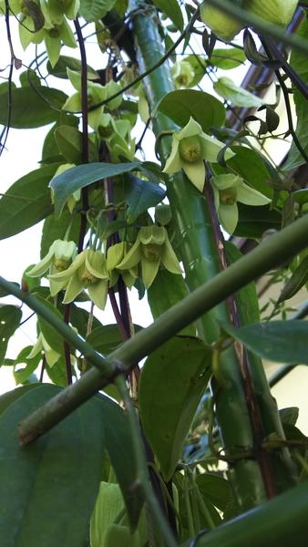 アンスンエンシス 今年も咲きました 年々立派に成長して5年目 雪にもめげずに