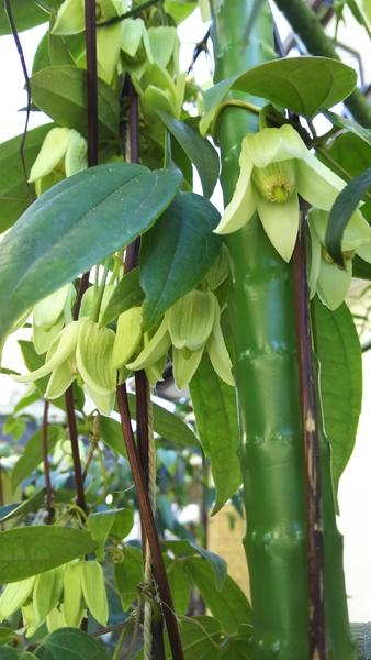 アンスンエンシス 今年も咲きました