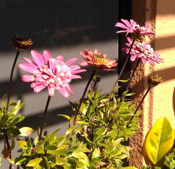オステオスペルマム・ダブルファン  長い間咲いて楽しませてくれています。