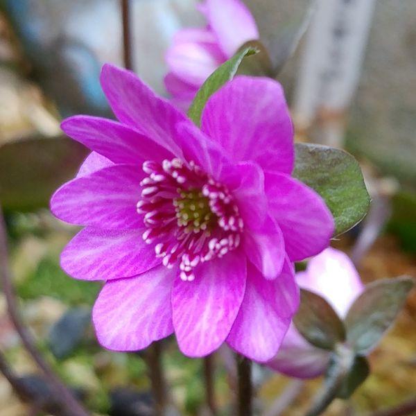 紅の匂 かさね色目 四季通用 祝儀用  シェードガーデン 華やかピンク