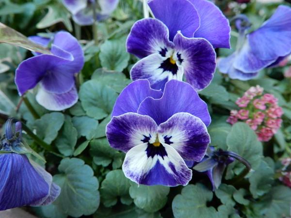 この色の種蒔きビオラが強くて、一番多いと思います。