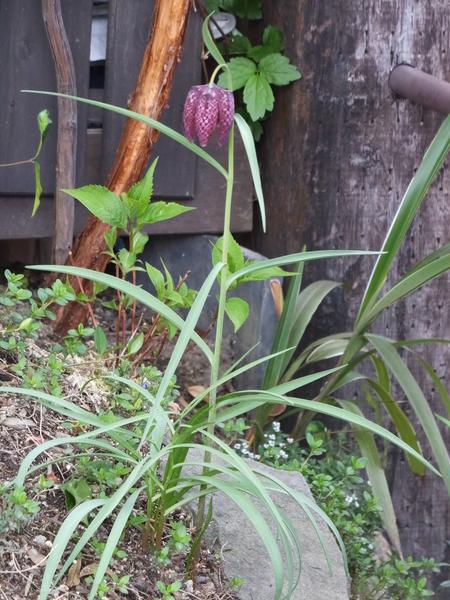 フリチラリア・メレアグリスです。 昨年春に花つきのポット苗を植えました。 球根で植