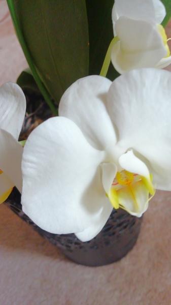 コチョウラン(胡蝶蘭)の写真 by ちっちゃい 白い胡蝶蘭が初めて咲きました。