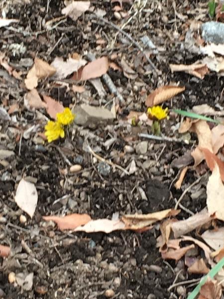 三毳山で 福寿草見つけた まだまだ寒いけど 少しずつ春の気配を感じます。