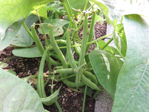 ツルナシインゲン 昨年11月17日の写真です。 種蒔きが遅かったので収穫を心配しました
