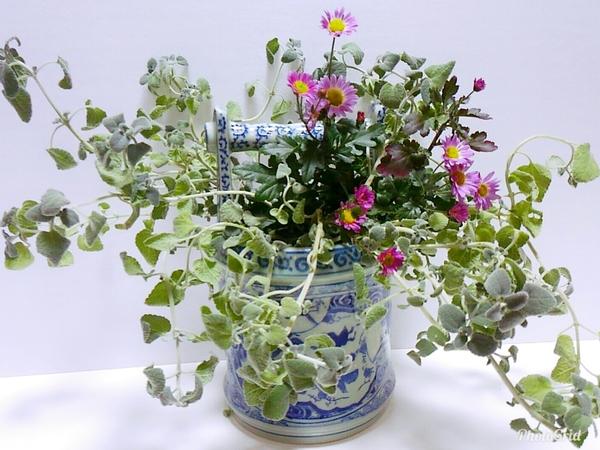 庭に咲いてる花は もう寒菊ぐらいしかありません。 寒菊とストレプトカーパス のみで