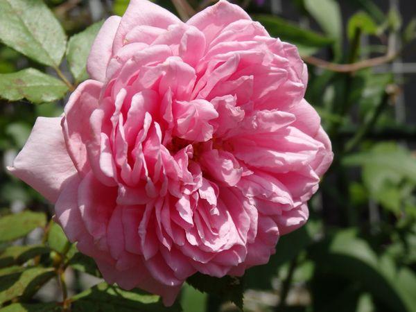 ローズ・ポンパドゥール。完全開花。