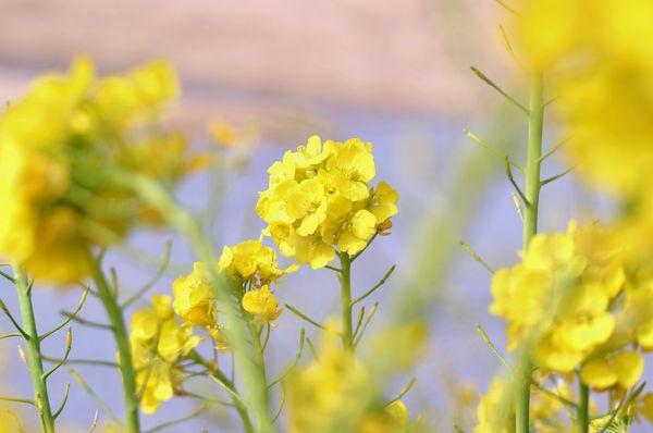 ナノハナは花菜とも呼ばれ、春を告げる野菜の一つ 私もよく食べますよ~