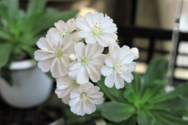 レウイシア・コチレドンの写真 by yoshitomo 純白で気品がありますよ~