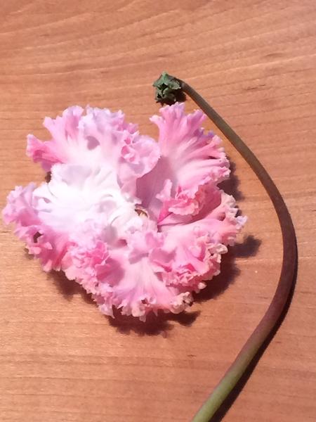 シクラメン カナホワイト まだきれいなうちに、ぽとりと花が散ります。 花弁のフリル