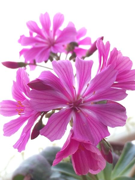 濃いピンクのレウィシアが咲き始めました。 花径は4㎝。