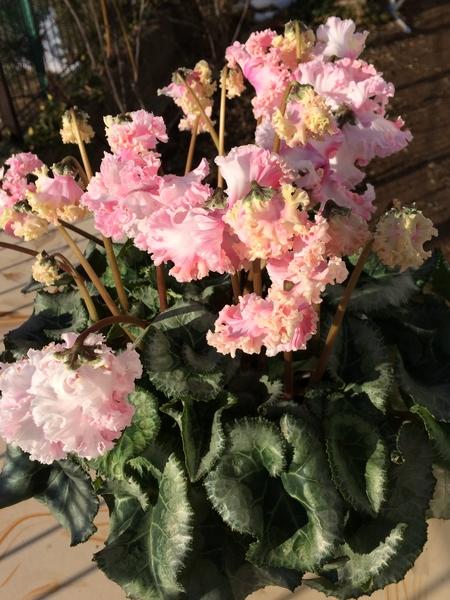 シクラメン カナホワイト。 寒くても穏やかに晴れた日は、日光浴します。 花色が濃く