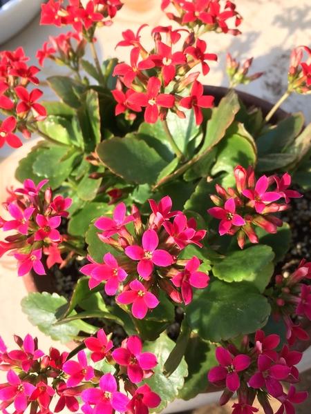 カランコエが8割がた咲き進みました。