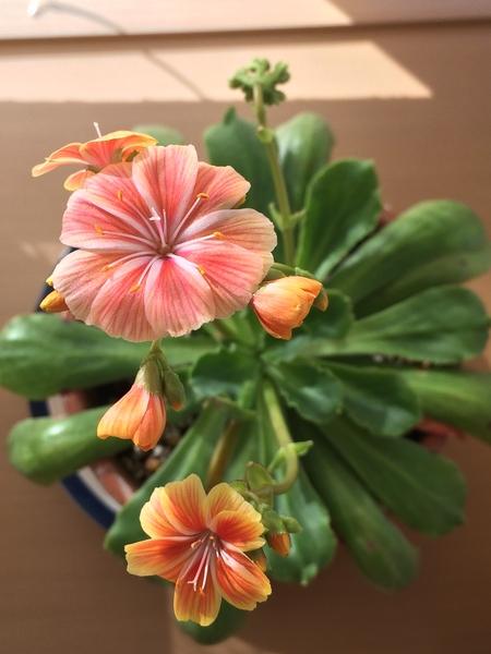 レウィシアとの出会いは20年以上前になります。都内の園芸店で高山植物とのことでした