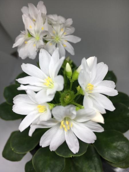 白いレウィシアが満開になりました(^-^) 可愛いお花です💐