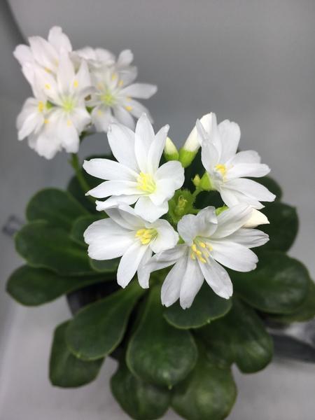 可愛いレウィシア💕 白い花に引き込まれます🌼