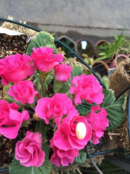 プリムラの花に、節分の豆が... 👹鬼は〜〜外!福は〜〜内!🌼🍀