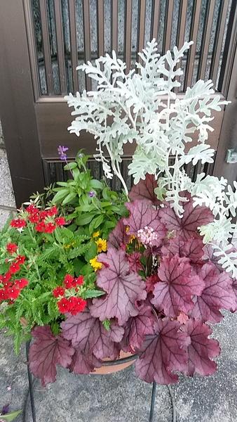 夏の寄せ植え  ヒューケラの赤、ベーバナの赤が、夏の元気印です。 赤を引き出す、黄