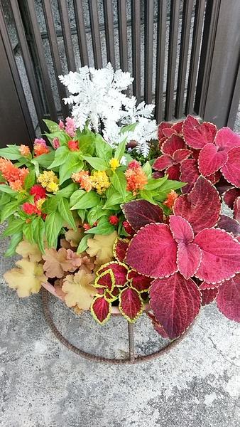夏の寄せ植えです。  コリウス、ヒューケラ、ケイトウの赤が、夏の元気印です。 シル