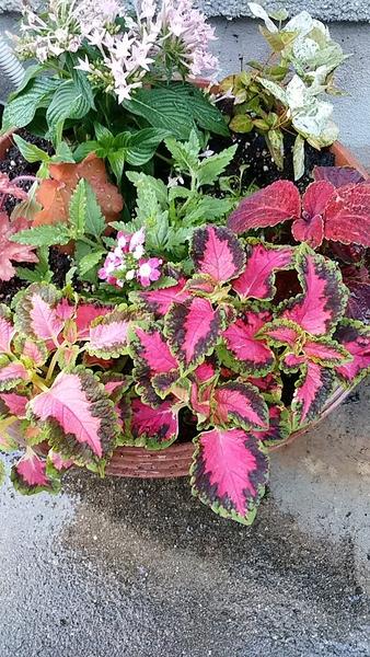 夏の寄せ植えです。  コリウスの赤が映えてます。 ペンタス、ハツユキカズラ、ヒュー