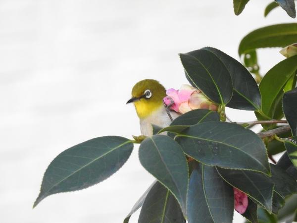 メジロが2羽 やって来ました。  庭の 侘助椿の 太郎冠者の蜜を吸いに来ました。