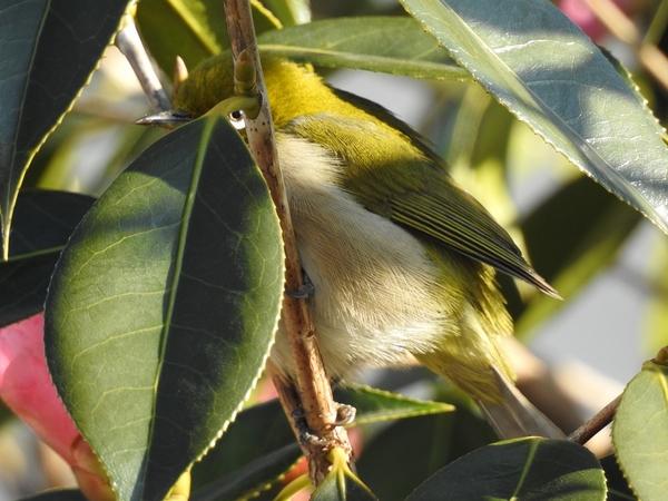 メジロが2羽やって来ました。  侘助椿・太郎冠者の蜜を吸いに  よく見ると 葉柄と枝