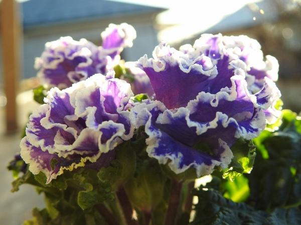 群青の空 という名前に惹かれ  プリムラ・アコーリス を 買ってしまいました。 サクラ