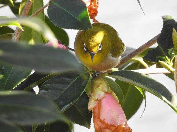 メジロが2羽やって来ました。  侘助椿・太郎冠者の蜜を吸いに  ガクに乗って