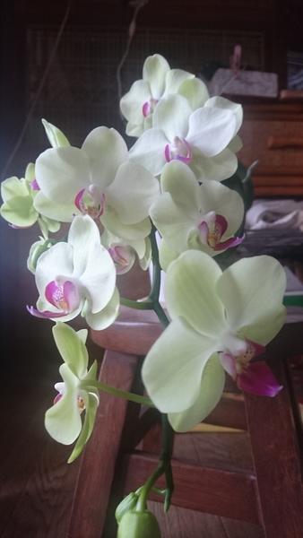 コチョウラン(胡蝶蘭)の写真 by miyu ミディ胡蝶蘭です。 毎年開花してくれるミニと