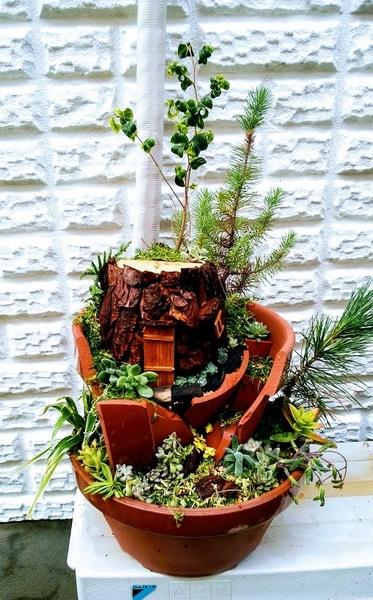 切り株のおうちがある寄せ植え ベンジャミン(バロック)、庭に自然生えした松、10