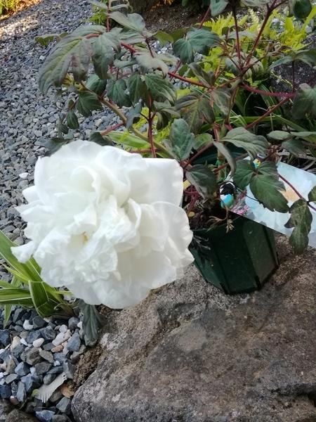 牡丹「村松の雪」 咲きました💗  真っ白で綺麗です😂