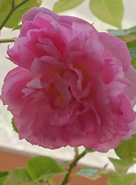 花友さんに頂いた、ジャスミーナ 咲きました💗  凄く可愛いです💗 優しい香りもします💗