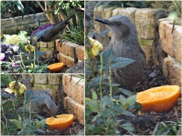 花壇にヒヨドリがやって来てミカンを食べる三コマ写真