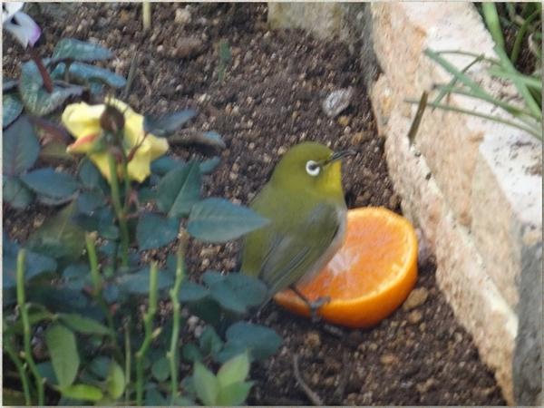 花壇にやって来てミカンを食べるメジロ