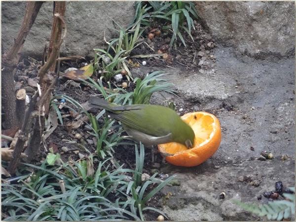 中庭でミカンを食べるメジロくん
