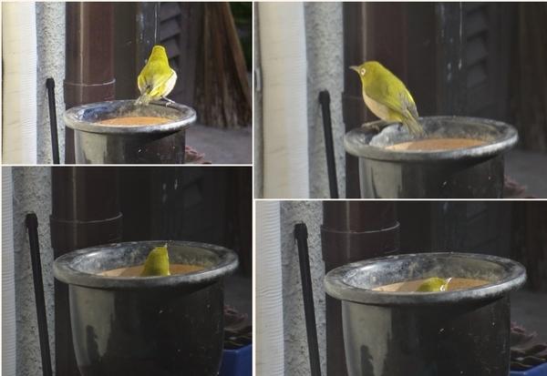 🐦お風呂に入った気分の🐦メジロくん...でも単なる鉢四コマ写真
