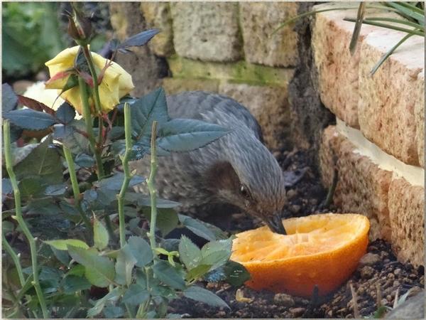 花壇にヒヨドリがやって来てミカンを食べてる様子