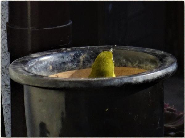 🐦そろそろ上がる仕度してる🐦メジロくん...でも単なる鉢の中