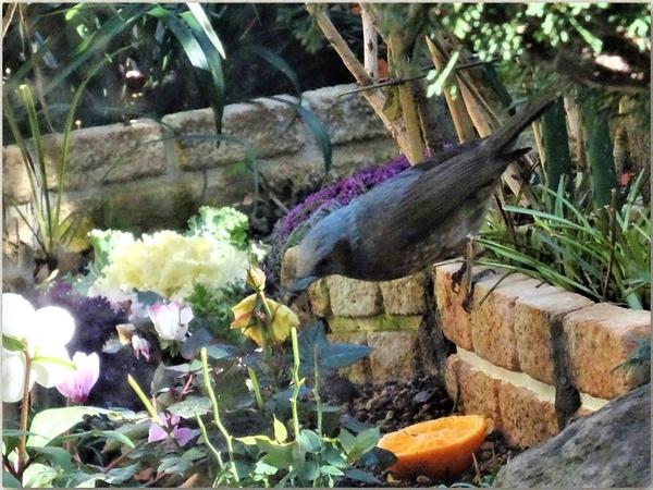 ヒヨドリが花壇にやって来てミカンの様子を見ている光景
