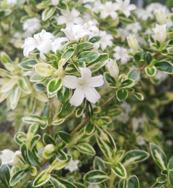 イヌツゲの写真 by kiiro イヌツゲ、貴婦人咲いています。 昨年よりも花の数が増えて