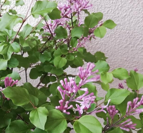 ライラックの写真 by kiiro ヒメライラック 鉢植えなので花が咲くと室内に置きます。