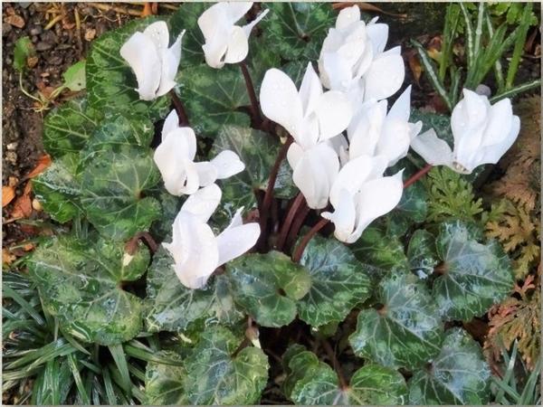 白い花のシクラメンの拡大撮り