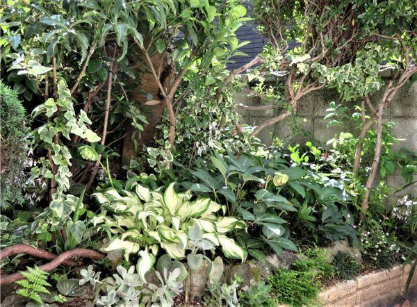 1⃣📷庭先側面の花壇の周りでのヘデラ・ヘリックス...🔶クリスマスローズ専用花壇の両脇