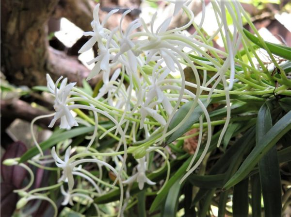 1⃣📷カイヅカイブキの枝に咲いたフウラン(風蘭)の花...🔶雨降る中で咲いたのかな? 今
