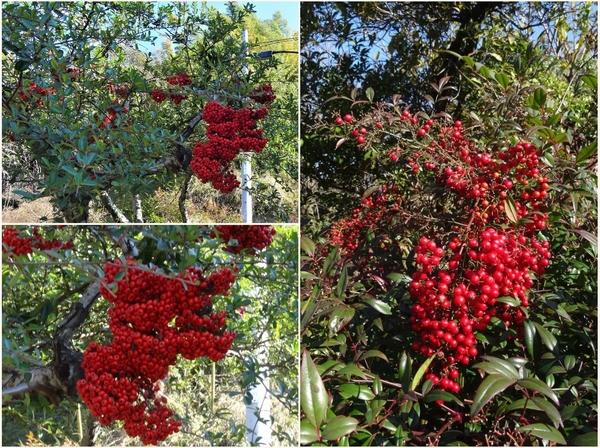 ピラカンサの写真 by ロッキー 📷左:🍒ピラカンサが鈴なり出来た赤い実 📷右:🍒やはり大き