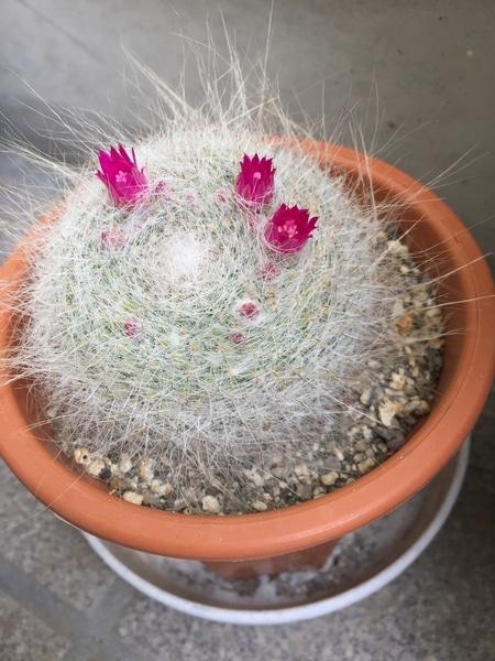 昨年はピンクの小さい花が🌸二つ咲きましたか、今年はさらに増えてます!
