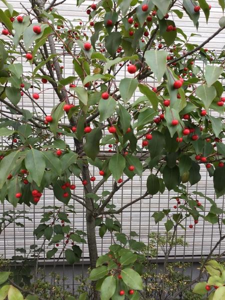 ソヨゴの写真 by 梅もも桜 ソヨゴのようです。一個一個がサクランボのようで、葉の緑