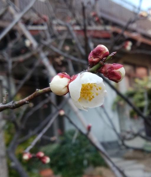 「白梅」📷20180210 台東区をお散歩中 ある神社にて