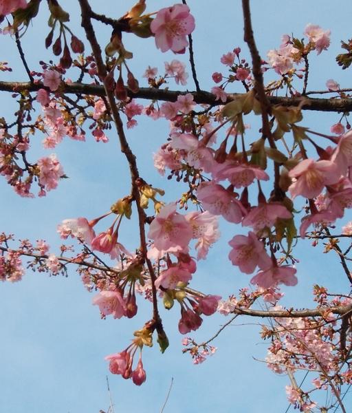 「河津桜」📷0180210  東京都・台東区をお散歩中のこと。 東京では 桜(ソメイヨシノ)