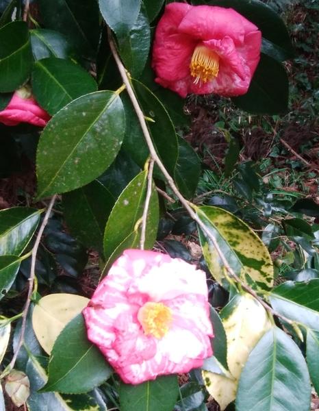 「斑入り椿」📷20180203 千葉県のある神社で咲いていました。